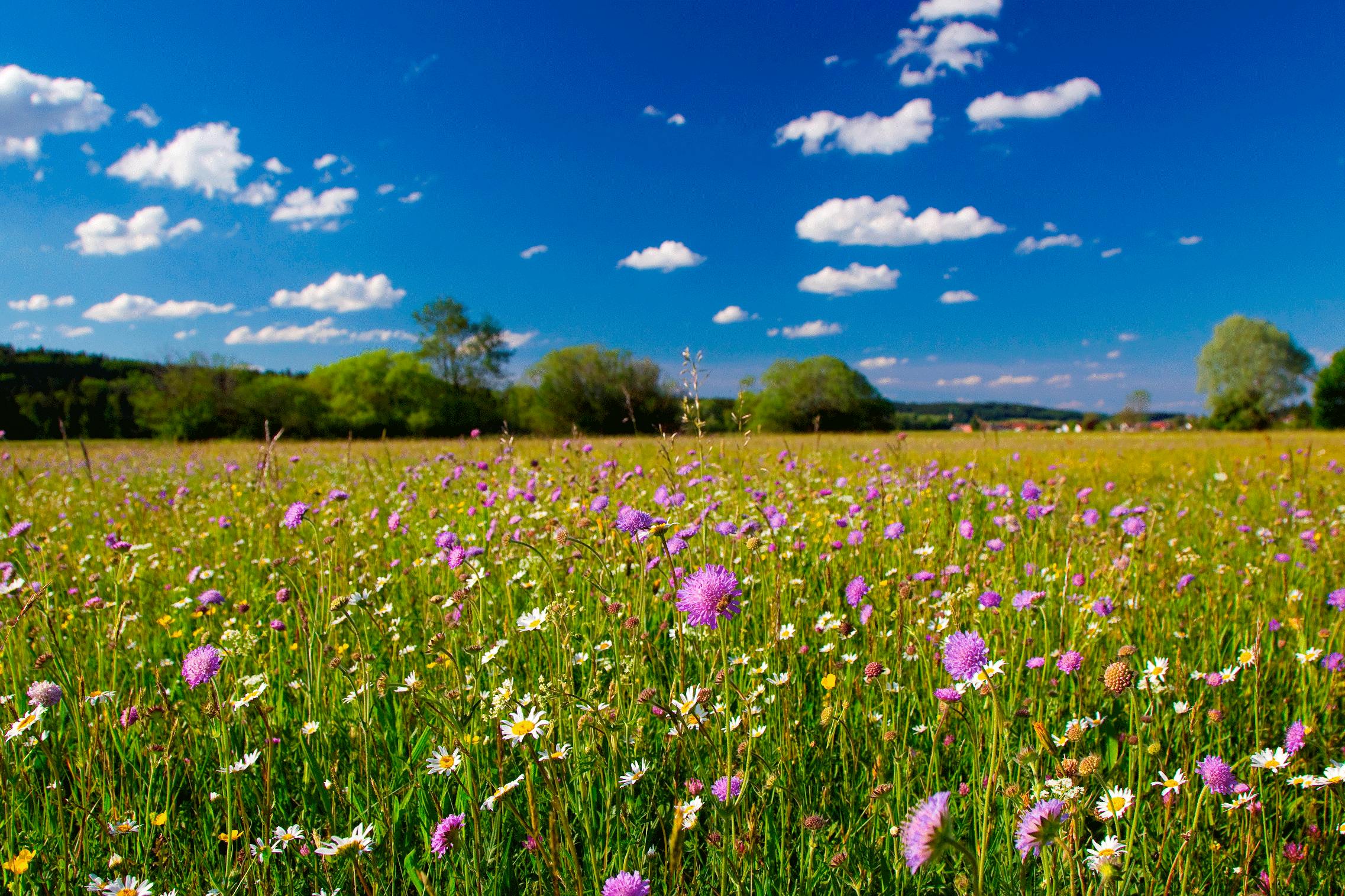 Bunte extensive Blumenwiese - dominiert von Margheriten und Witwenblumen - mit blauem Himmel im Hintergrund