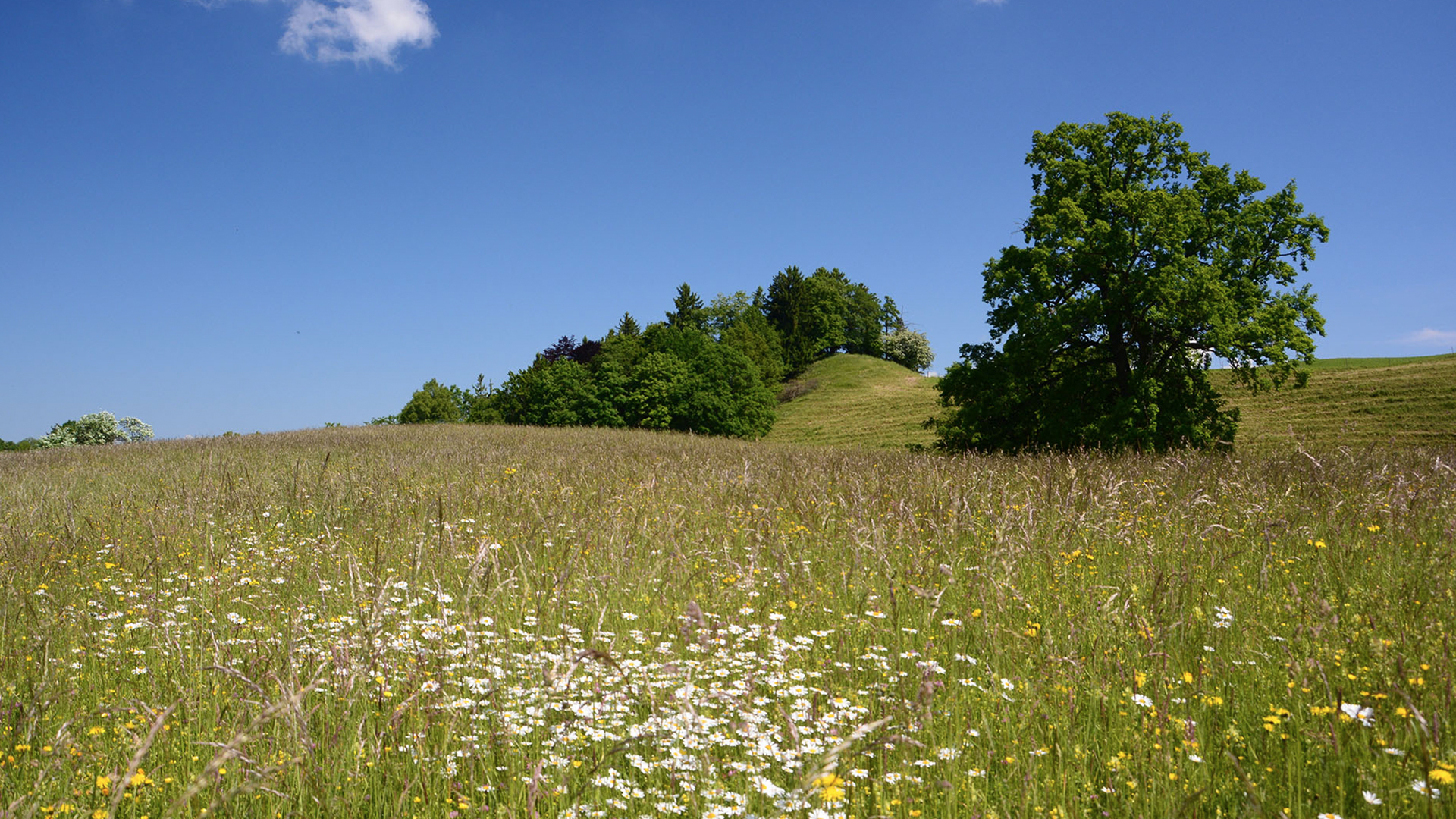 Blumenbunte Flachland Maehwiese im Alpenvorland – Fotograf Andreas Zehm