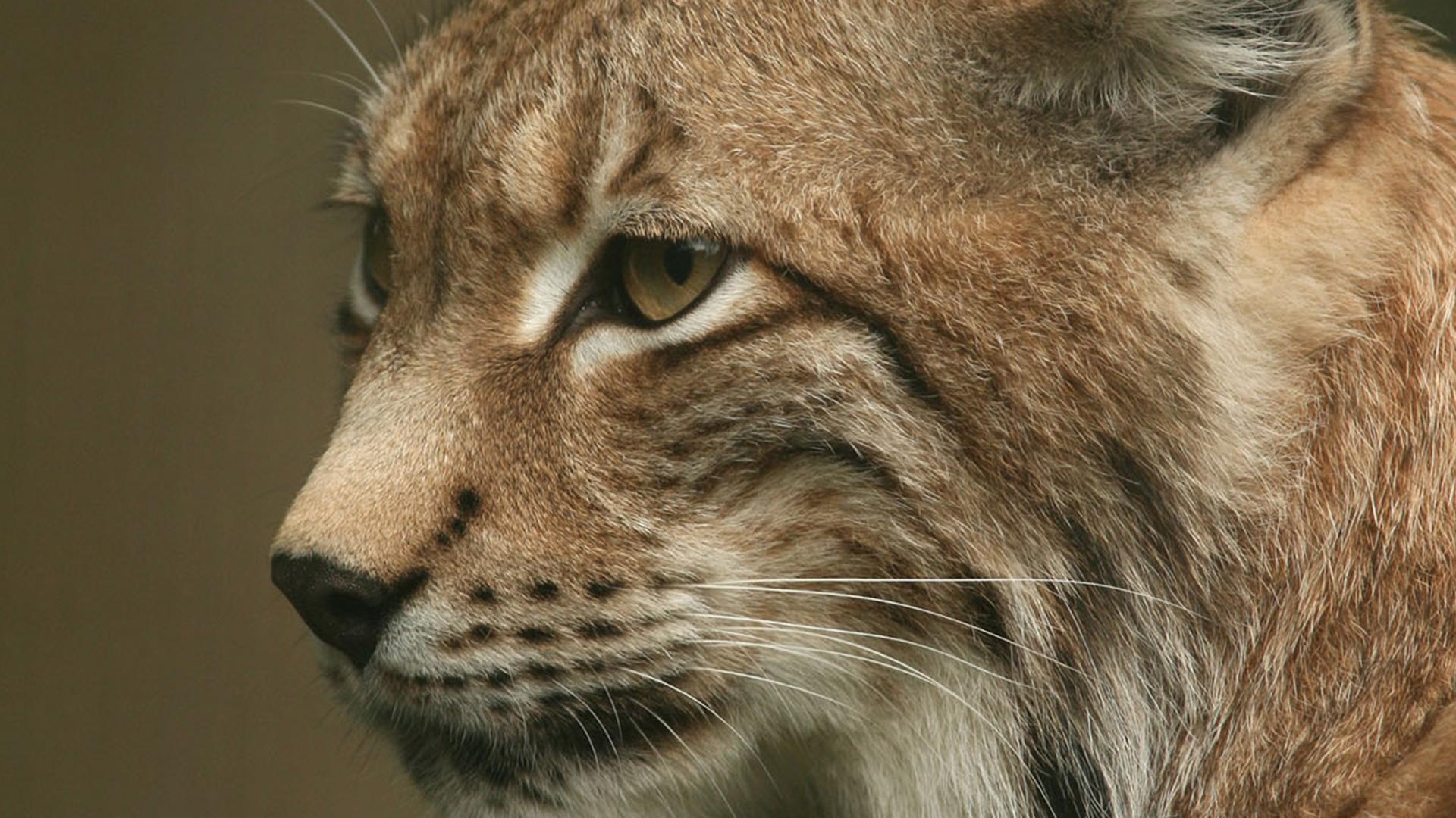 Europaeischer Luchs – Lynx lynx – Fotograf Josef Limberger