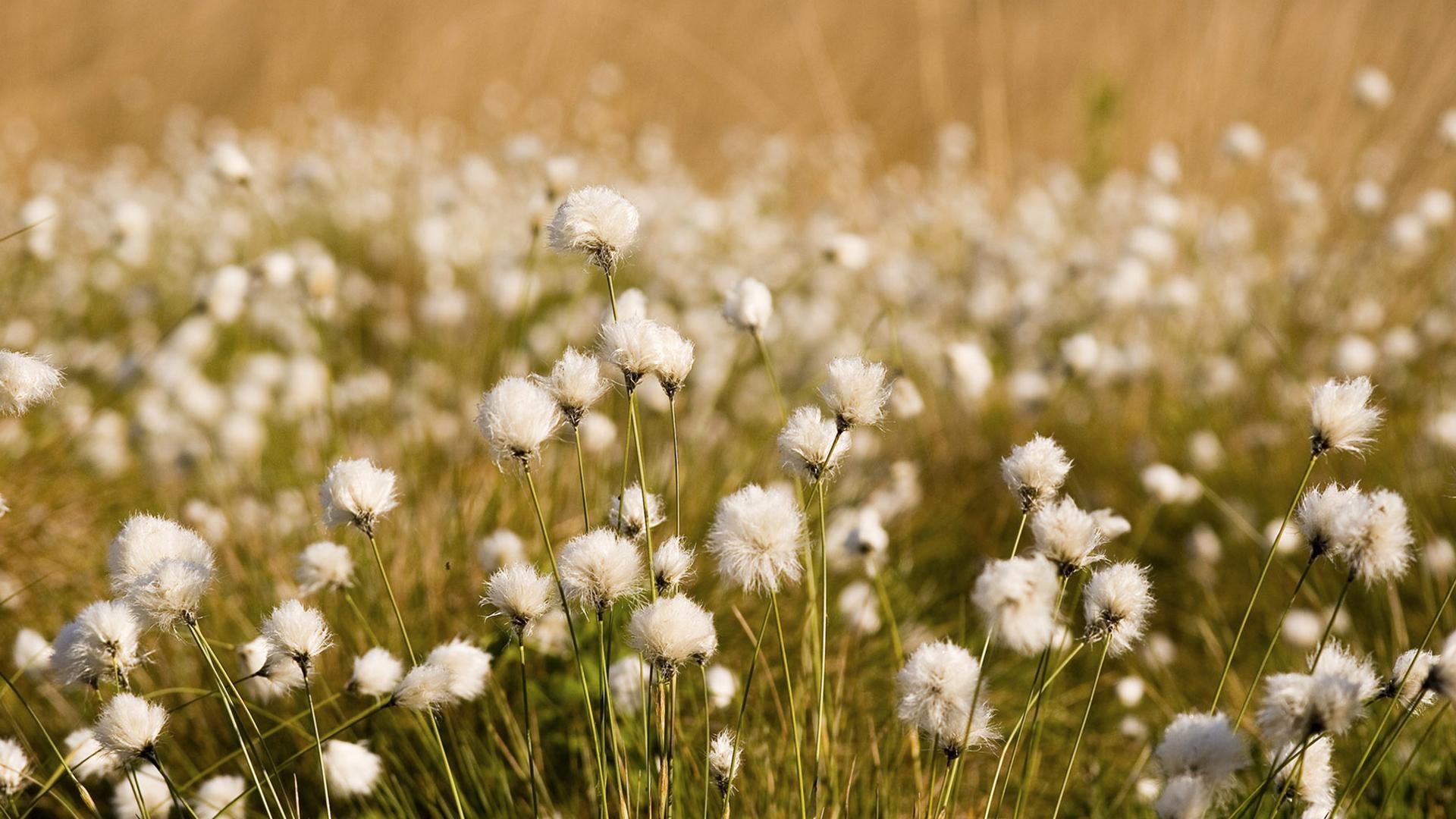 Wollgrasfrüchte nach der Blüte – Eriophorum vaginatum – Fotograf Dirk Grasse
