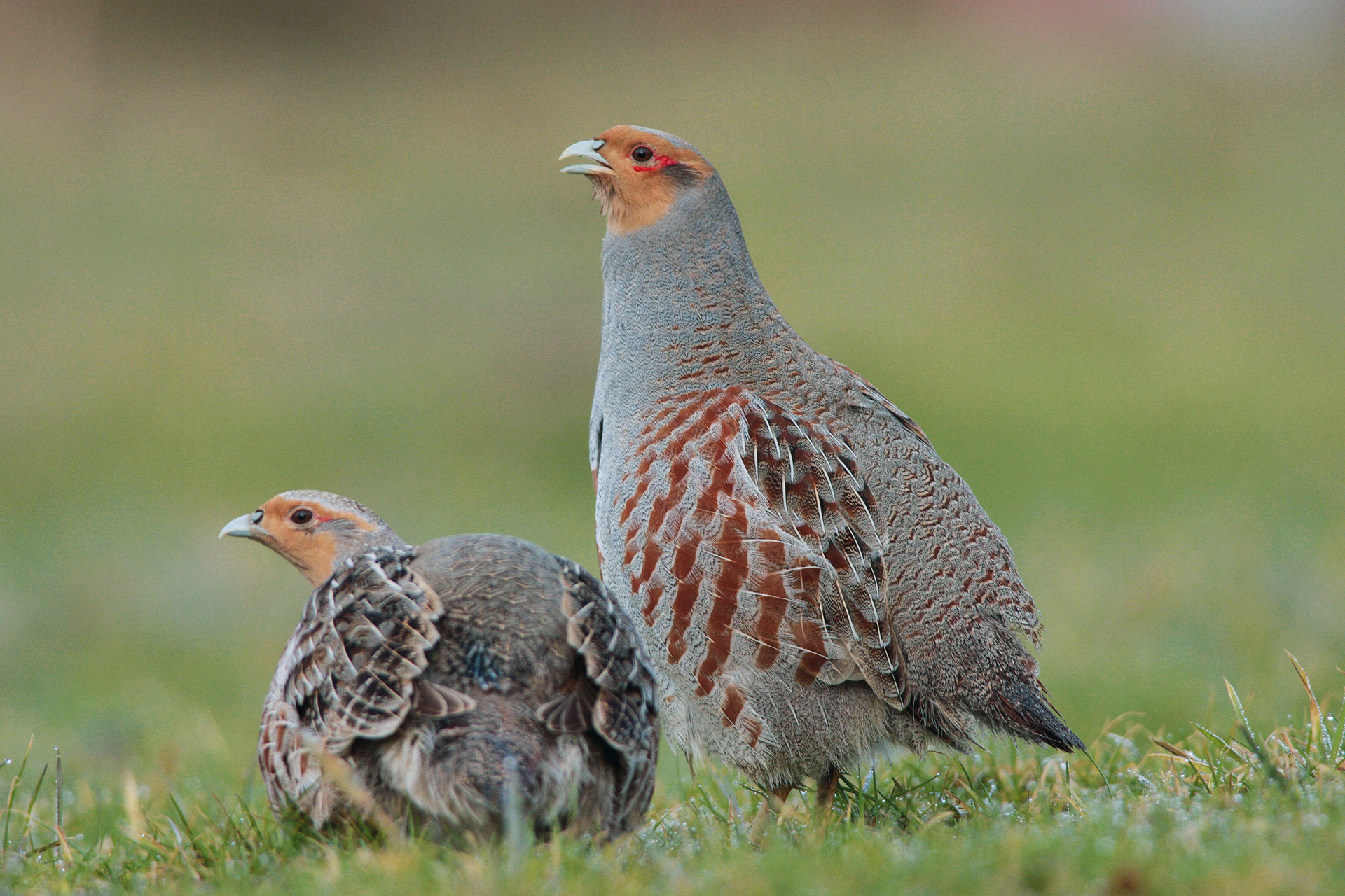 Two partridges sitting in grassland.