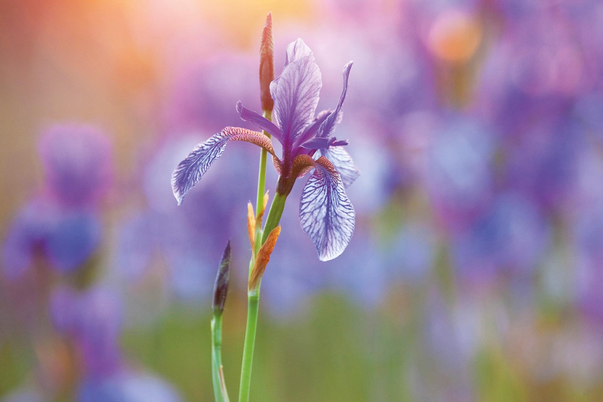Nahaufnahme einer Schwertlilie: Schlanker grüner Stengel mit blau-lila Blüte.