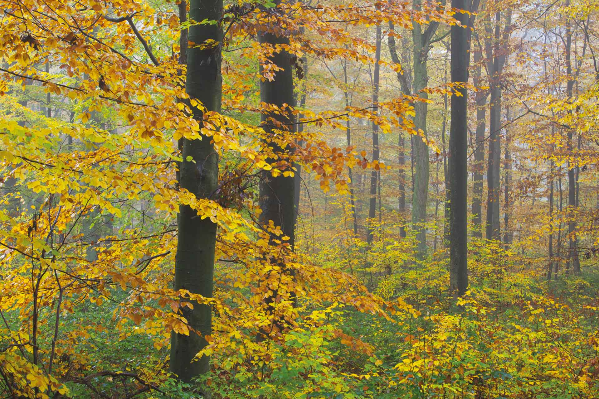 Beech forest in autumn.
