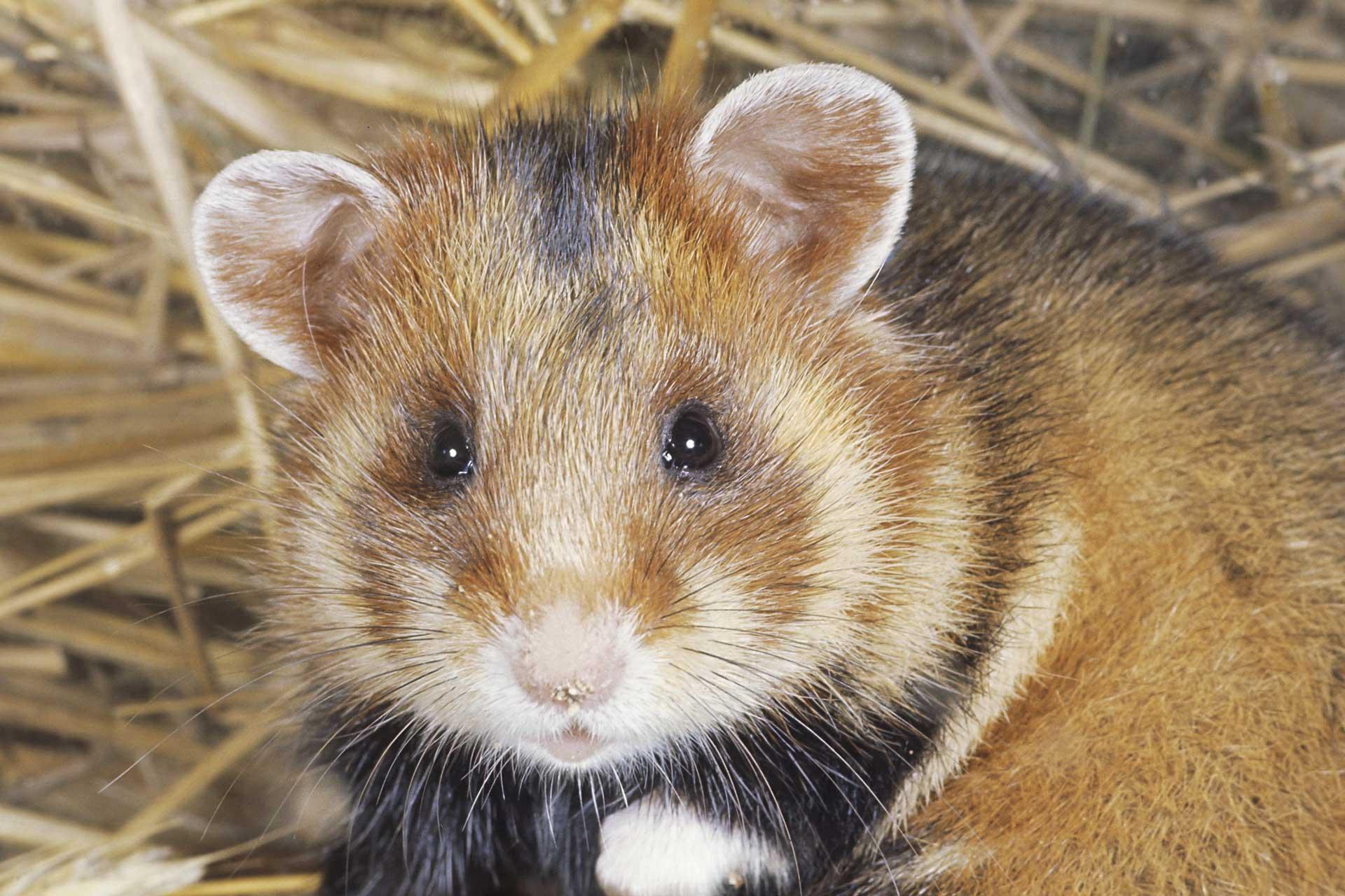 European hamster Cricetus cricetus in its nest.