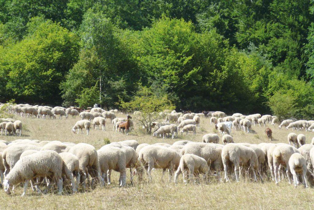 Schafe auf der Wiese. Im Hintergrund ein Wald.