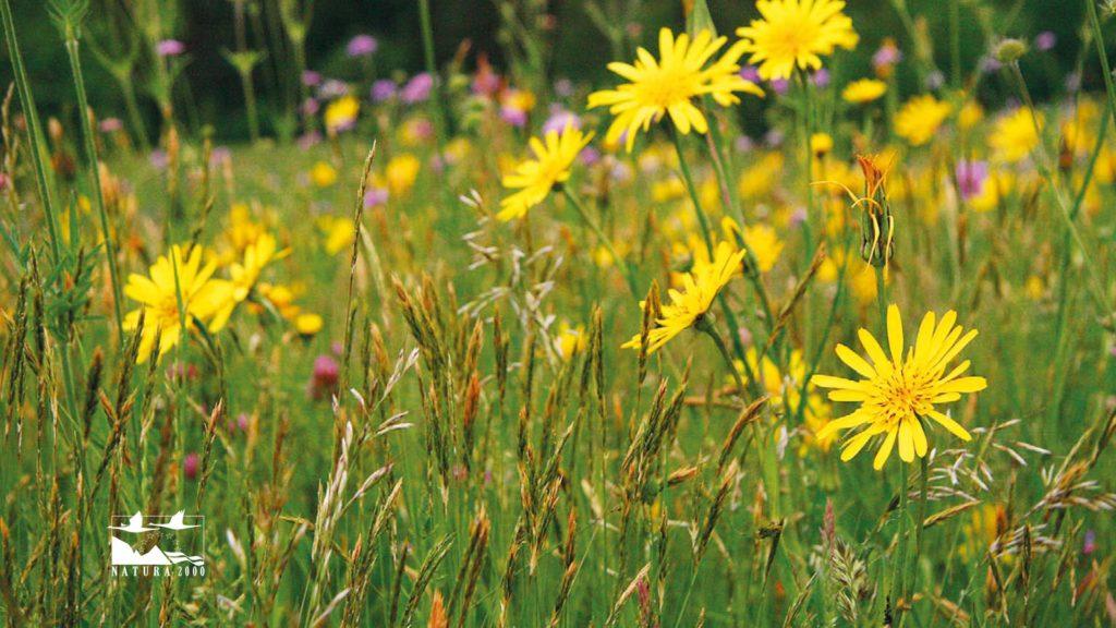 Eine gelbe Blumenwiese in der Nahaufnahme.