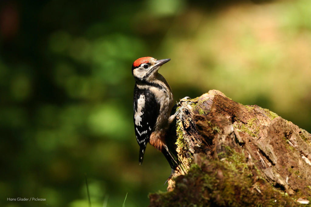 Great Spotted Woodpecker sitting on a tree in a forest.