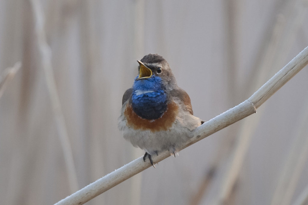 Auf dem Foto ist ein kleiner Vogel zu sehen, der auf einem Schilfrohr sitzt und singt. Das blau-rostrote Brustgefieder ist aufgeplustert.
