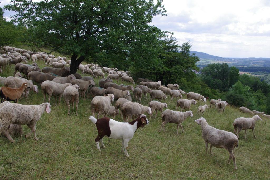 Auf dem Bild ist eine Schafherde und einige Ziegen zu sehen, die auf einem Magerrasen stehen. Die Wiesenfläche ist durchsetzt von einem einzelnen Baum, im Hintergrund sind auch Büsche zu sehen.