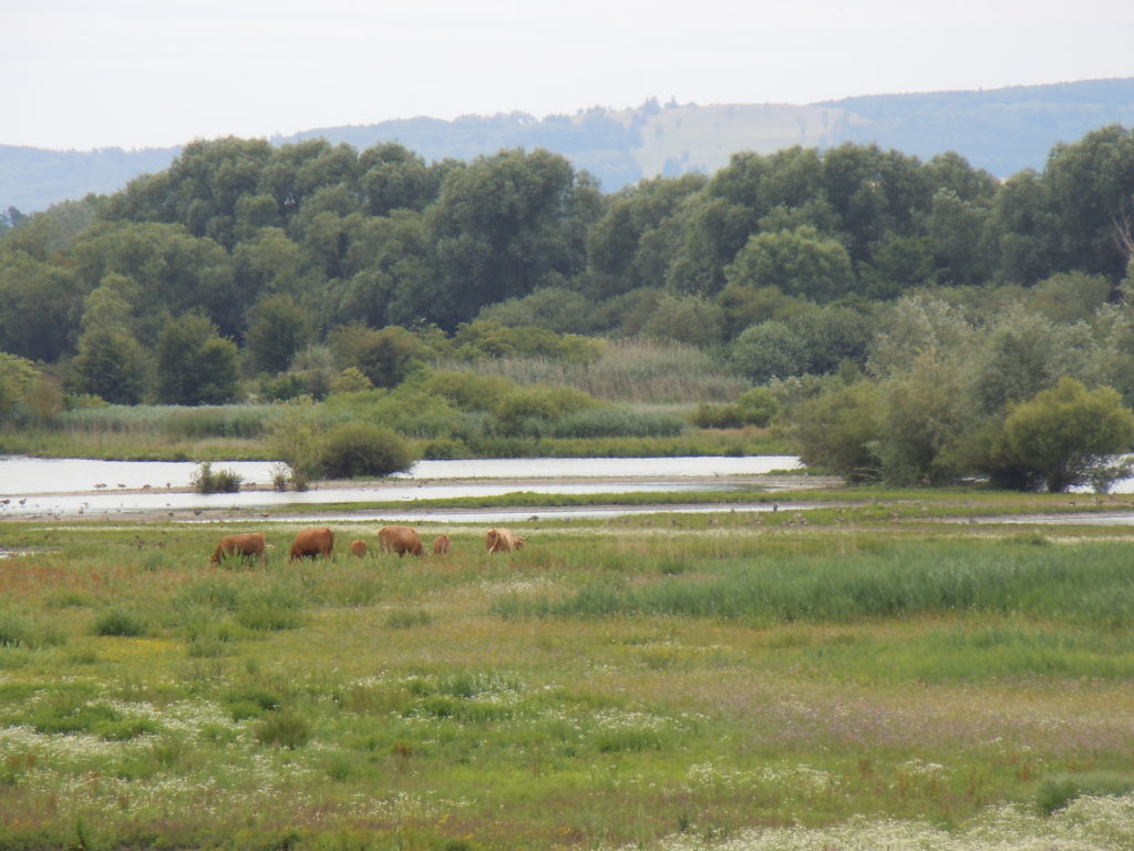 Im Vordergrund eine naturnahe Wiese im Natura 2000-Gebiet, auf der Rinder weiden. Im Hintergrund ist die Wasserfläche und die angrenzende Ufervegetation und der Wald zu sehen.