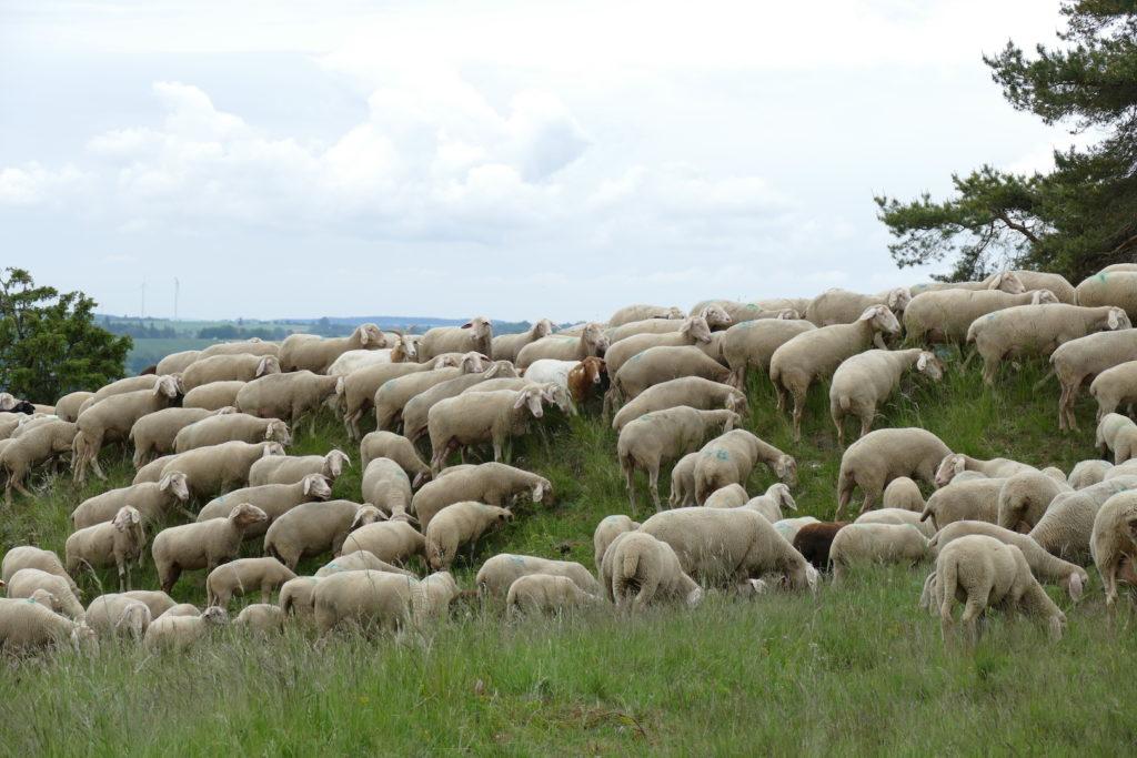 Viele Schafe, die auf einem Hügel weiden. Bäume am Bildrand, bewölkter Himmel.