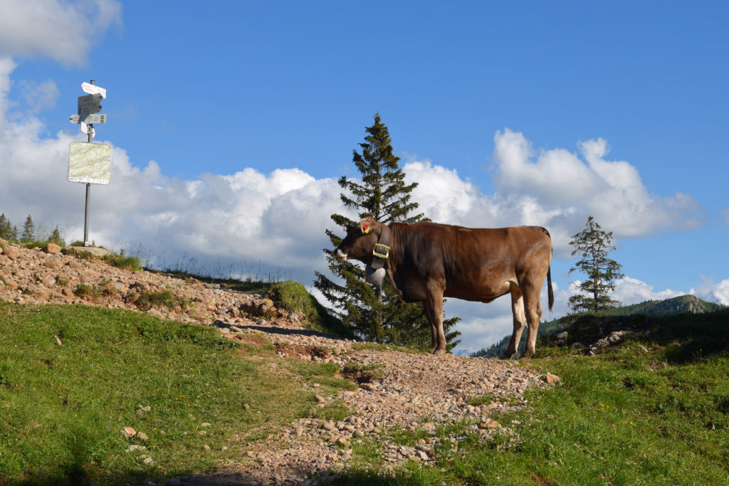 Bei einem hinaufführendem Wanderweg steht eine Kuh frei herum. In ihrer Blickrichtung sind verschiedene, wegweisende Schilder angebracht.