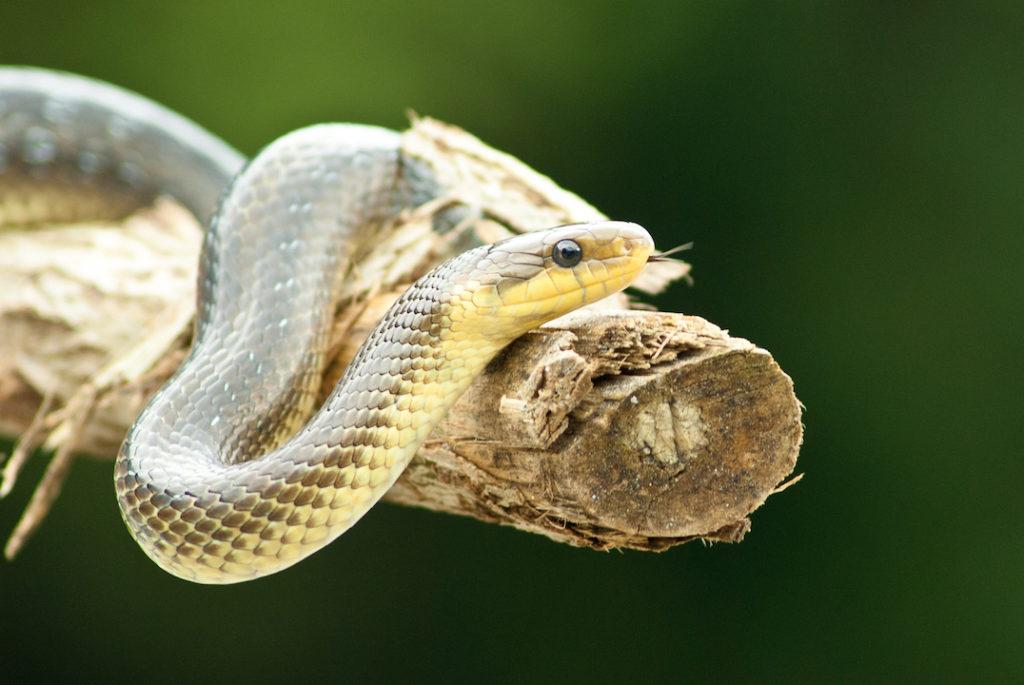 Eine Äskulapnatter zu sehen, die sich um einen Ast schlängelt. Die Schlange ist oben hellbraun und an der Bauchseite gelblich. Sie hat einen schmalen Kopf mit dunklen Augen und züngelt.