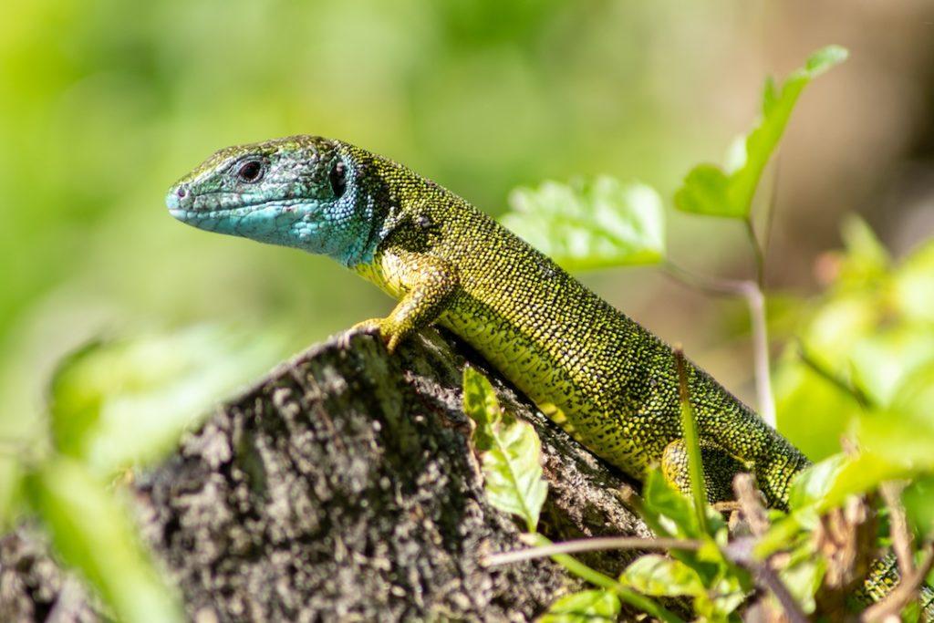 Eine Smaragdeidechse aus der Nähe. Die Echse hat einen glänzt grün und blau in der Sonne und sitzt auf einem Ast.