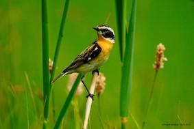 Ein kleiner gelb-brauner Vogel, der auf einem Grashalm sitzt.