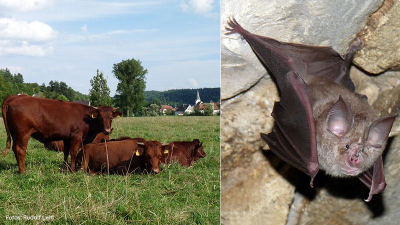 Rechts sind vier rotbraune Kühe auf einer Weide zu sehen, links eine Fledermaus, die von einer Steindecke herabhängt.