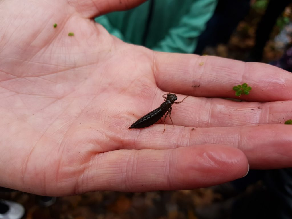 Libellenlarve auf einer Hand sitzend