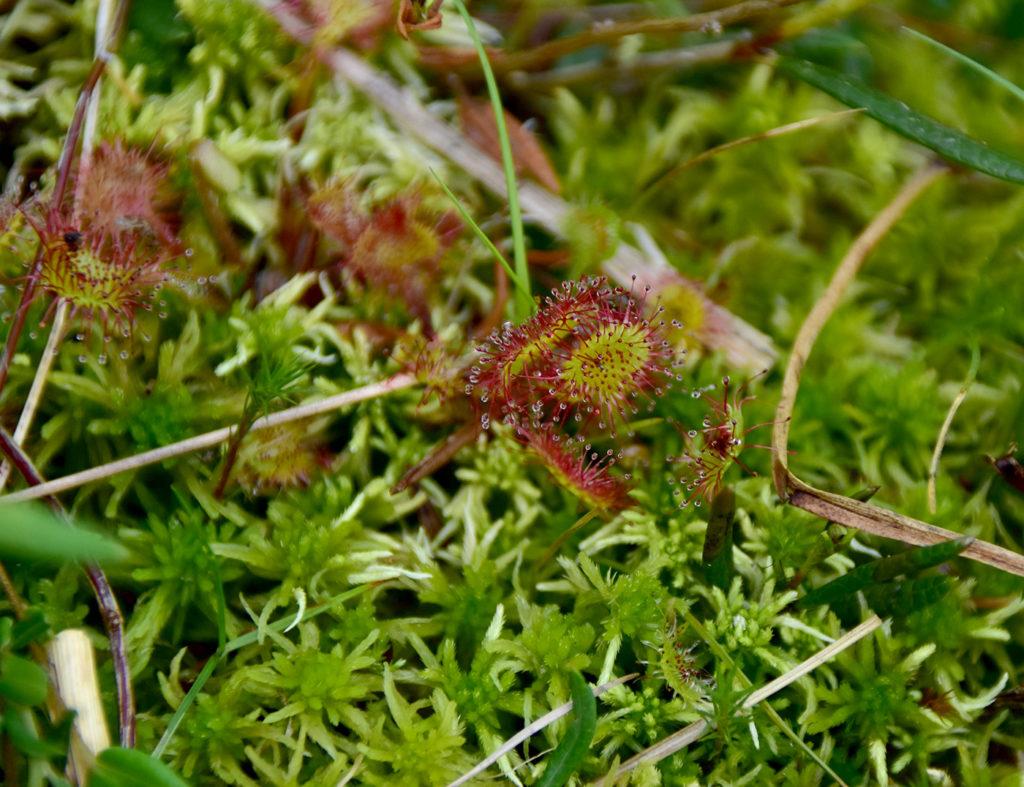 Pflanzen mit grünen rundlich-ovalen Blättern, auf der sich eine Vielzahl an feinen roten Fortsätzen befinden.