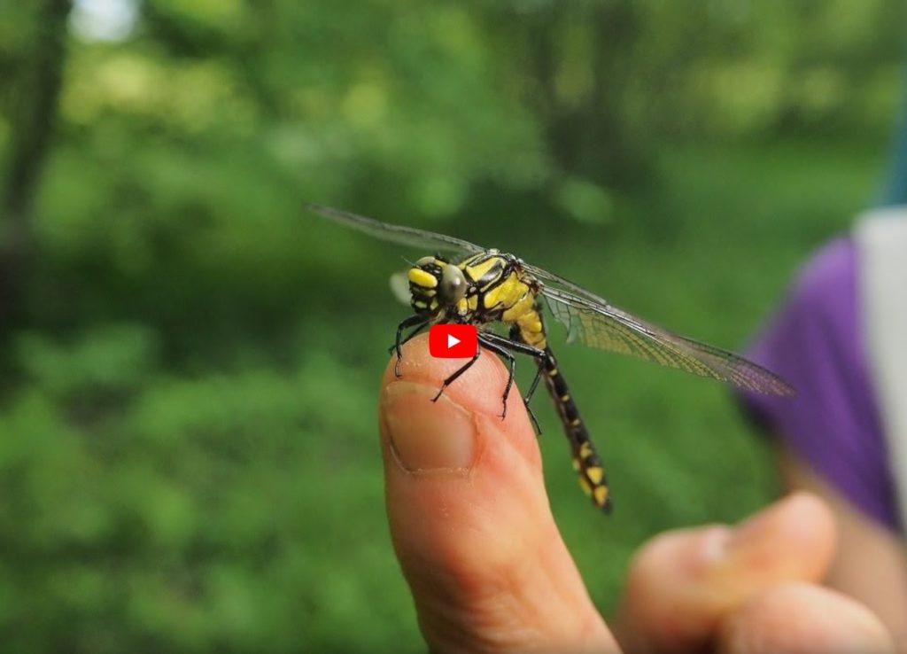 Bild einer Libelle, die auf einem Finger sitzt