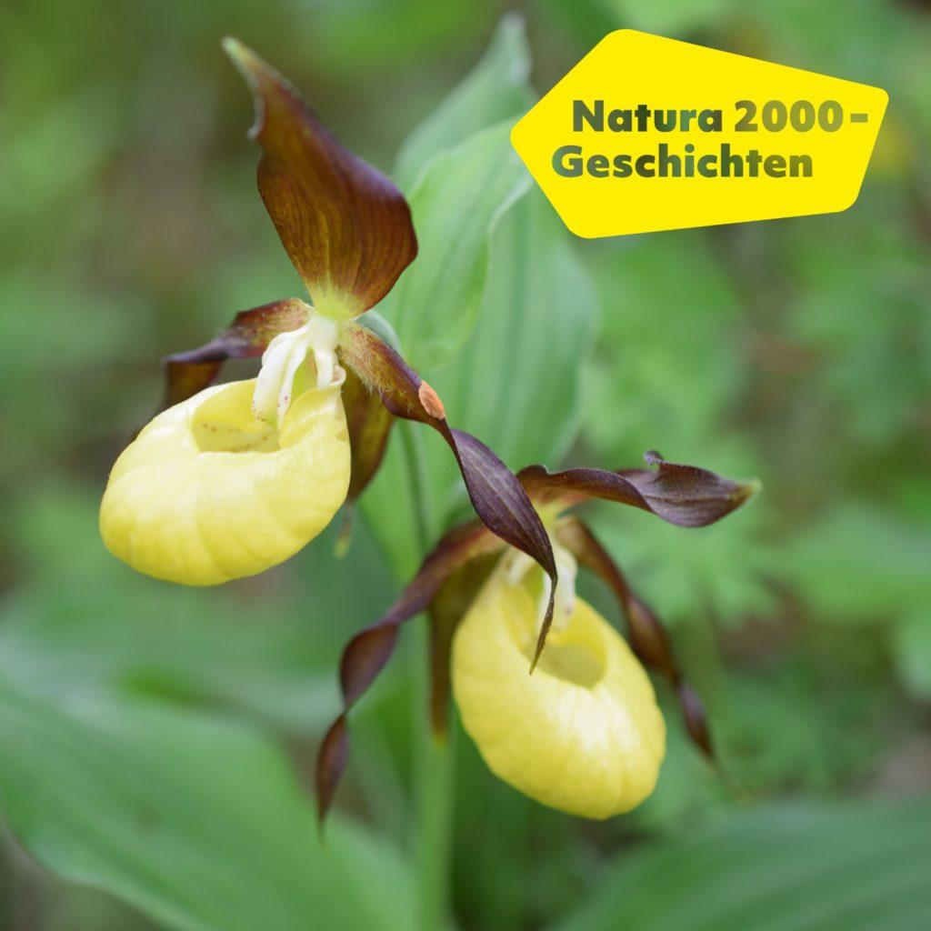 Bild einer Frauenschuh-Orchidee