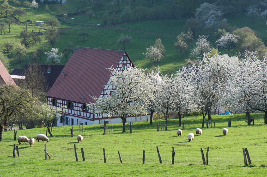 Streuobstwiese mit weiß blühenden Kirschbäumen, Schafen und einem Fachwerkhaus im Hintergrund