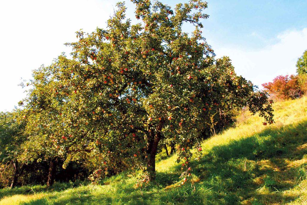 Obstbäume auf einer Wiese