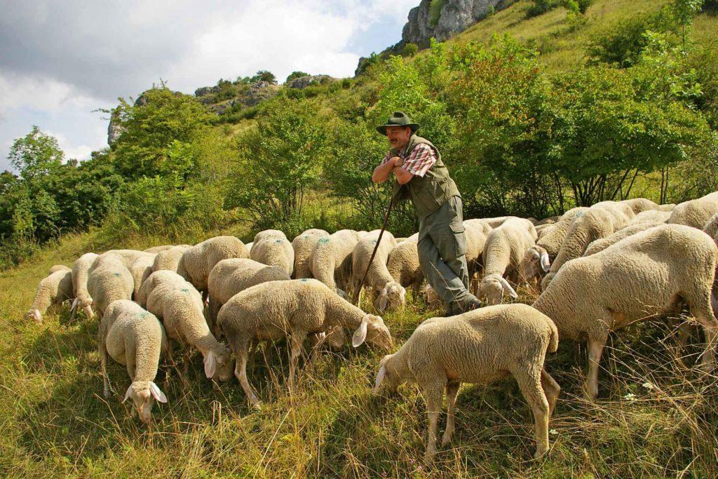 Schäfer umgeben von Schafen inmitten der Natur