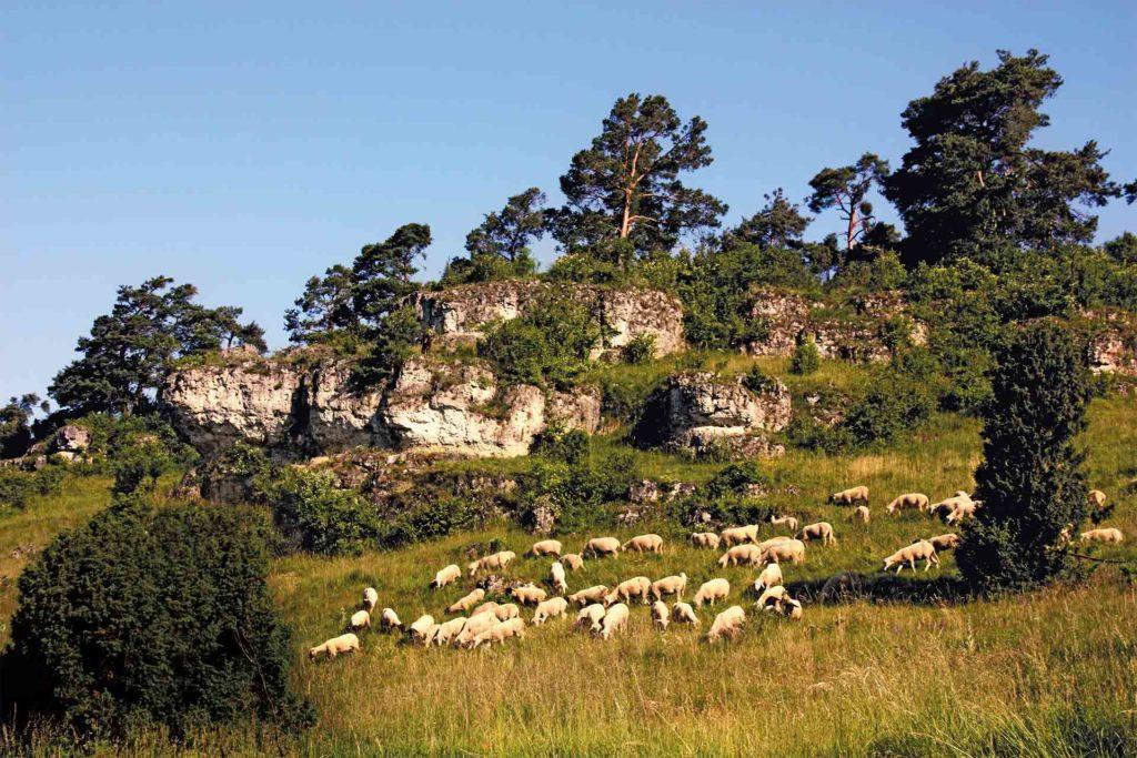 Schafherde auf einem Trockenrasen vor einer Felswand.