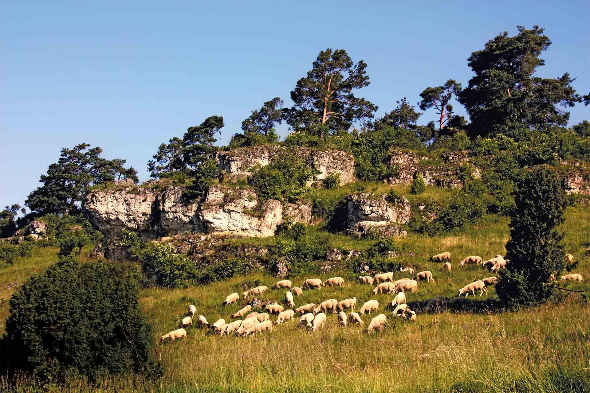 Juradistl-Lamm – So schmeckt Hirtenland