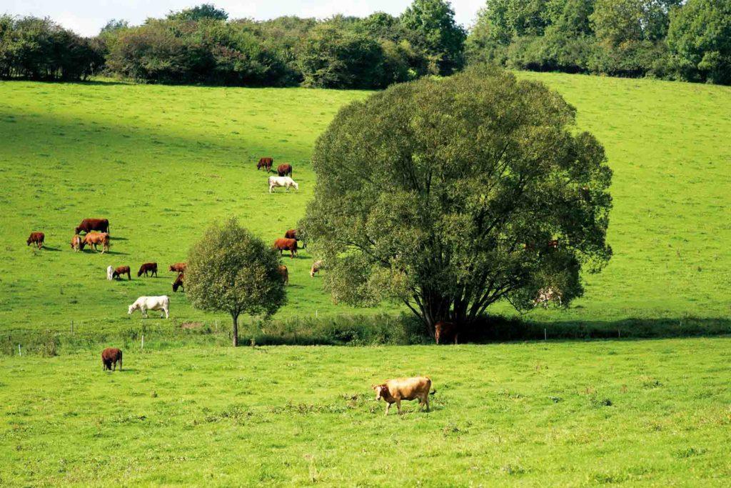 Eine grüne Wiese mit einem großen Laubbaum, auf der mehrere Rinder weiden.