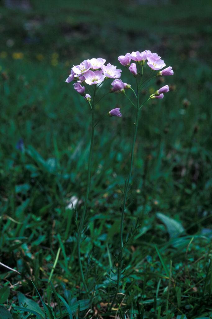 Das Wiesenschaumkraut ist eine kline Pflanze mit rosafarbenen Blüten, die hier auf einer Wiese wächst.