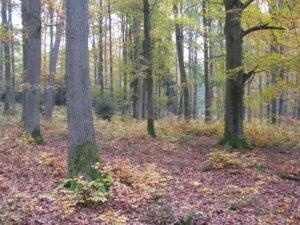 Ein lichter Laubwald im Herbst.