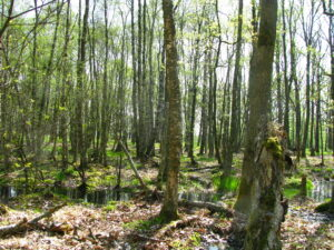 Ein frühlingsgrüner Wald.