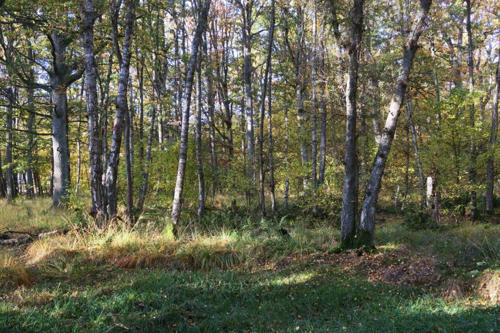 Ein lichter Laubwald im Sommer.