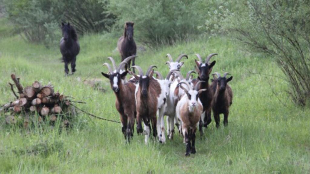 Eine Ziegenherde läuft über die Wiese, begleitet von zwei Ponys.