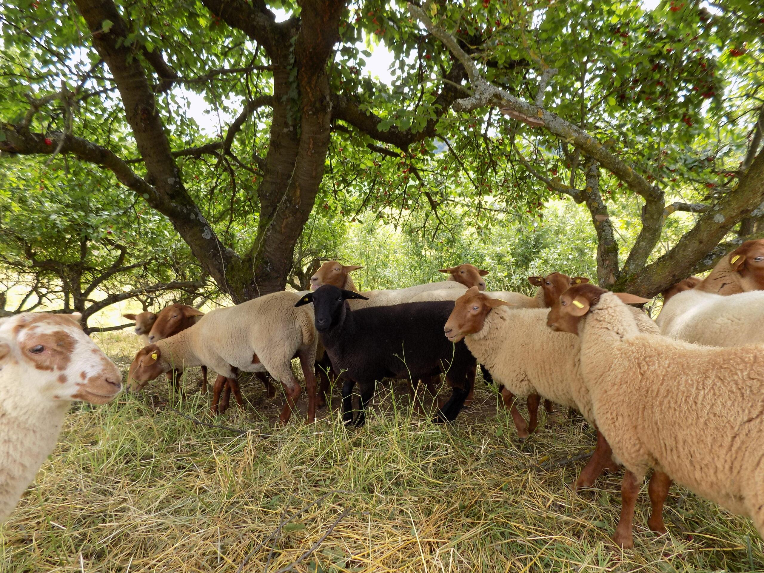 Schafe mit rötlich-braunem Kopf unter einem großen Quittenbaum. In der Mitte steht das sprichtwörtliche schwarze Schaf.