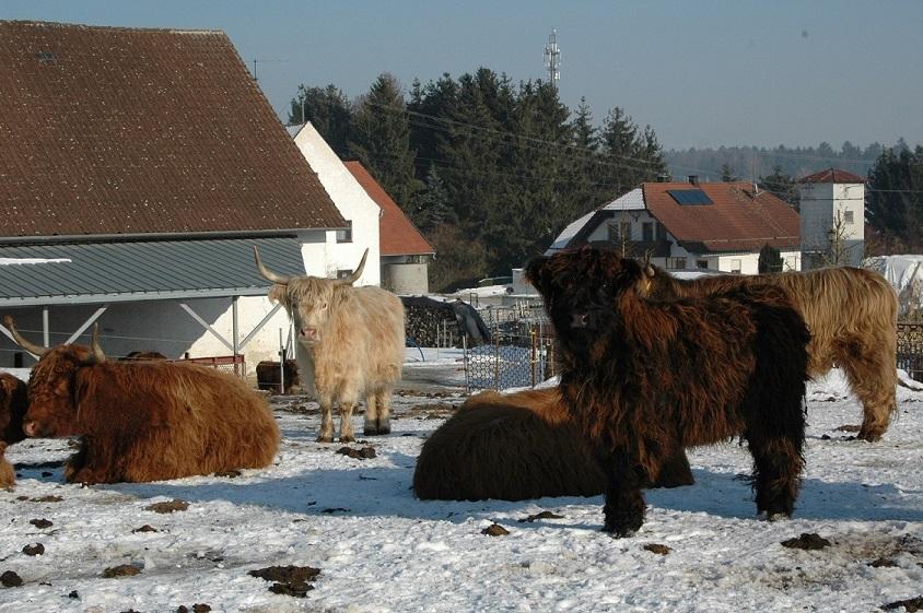 Braune und weiße zottelige Rinder stehen auf einer schneebedeckten Wiese vor einem Gebäude.