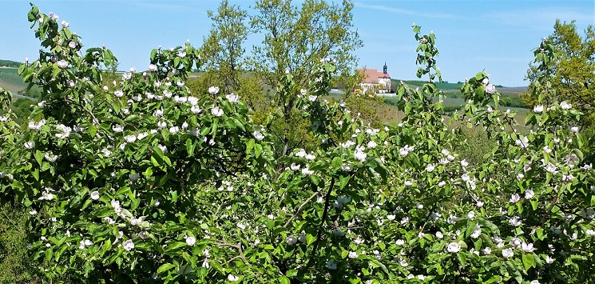Blühende Quittebäume, im Hintergrund eine Kirche.