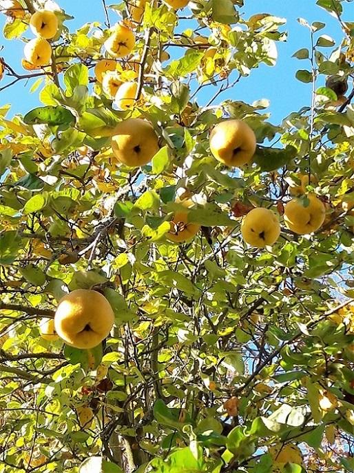 Gelbe reife Quitten hängen schwer im Laub eines Quittenbaumes.