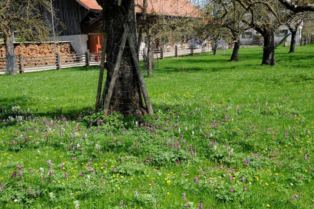 Wiese mit Apfelbaum und Frühlingsblumen