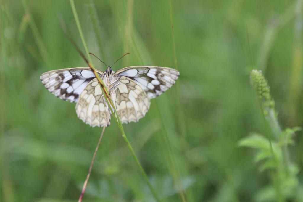 Ein schwarz-weißer Schmetterling klettert einen Grashalm hinauf.
