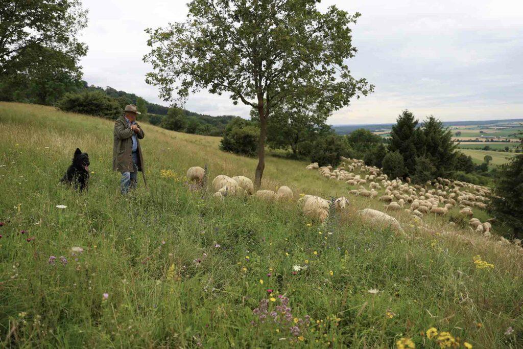 Schäfer hütet mit seinen Hund Schafe am Hesselberg.